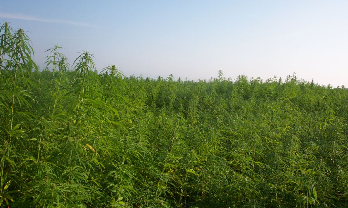 Industrial Hemp Farm in France